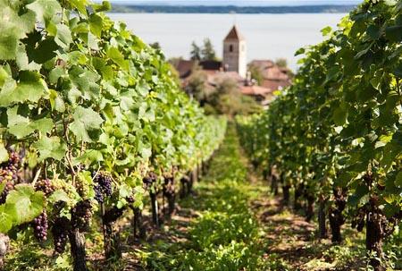 Taille de la vigne biologique raisin bio acheter - Taille vigne raisin de table ...
