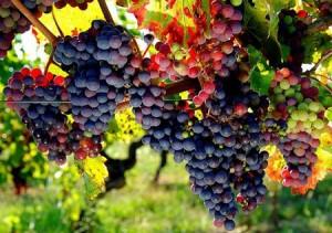 Le raisin bio pour réguler la pression artérielle