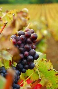 Le raisin : un fruit d'automne gorgé de bienfaits !