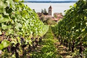 Taille de la vigne biologique