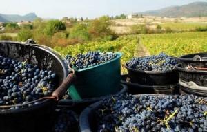 Le raisin bio (Vitis vinifera) antioxydant naturel puissant