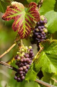 Le raisin bio, un fruit très peu calorique