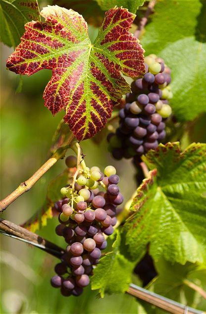 fruit antioxydant naturel puissant raisin bio fruit bienfaits. Black Bedroom Furniture Sets. Home Design Ideas